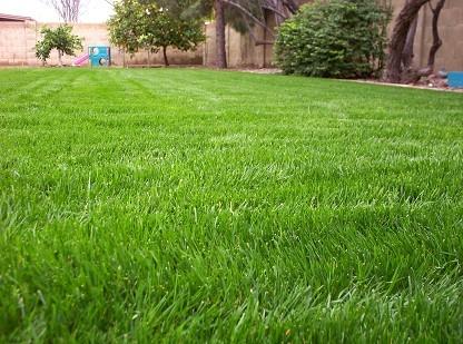 Ryegrass - Grass Pollen